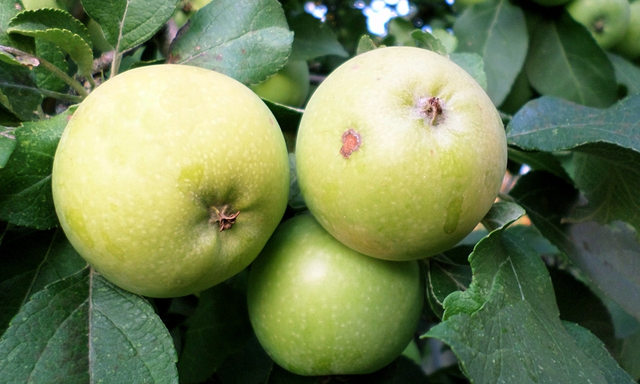 Яблоня гала: описание сорта и его видов, их достоинства и недостатки