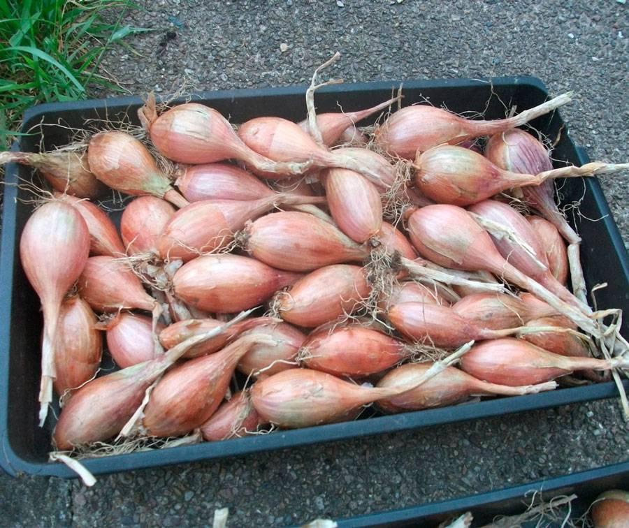 Лук на зелень (перо): какой выбрать сорт, выращивание, посадка и уход за ним в открытом грунте, в теплице и в домашних условиях