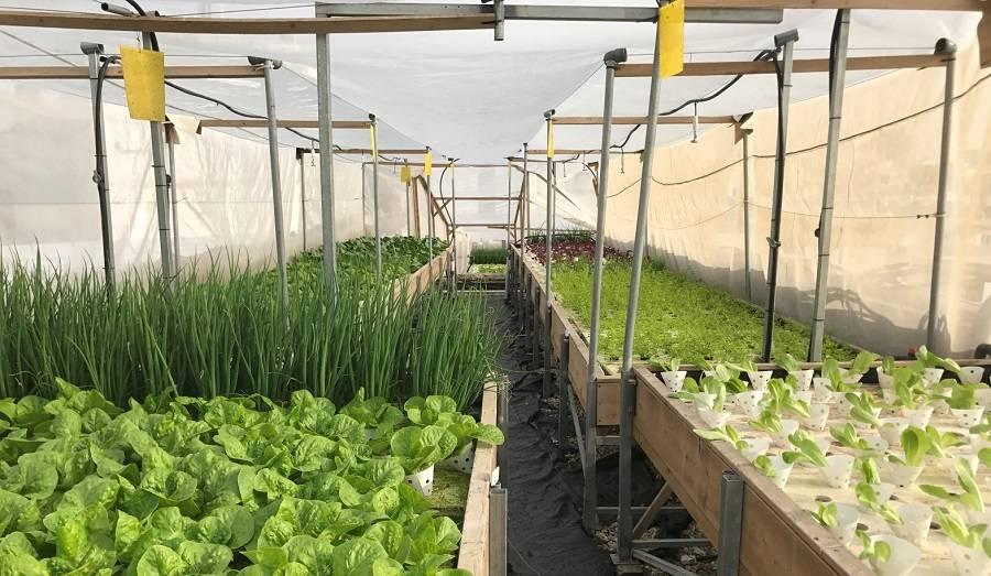 Бизнес на выращивании базилика и мяты в теплице с расчетами