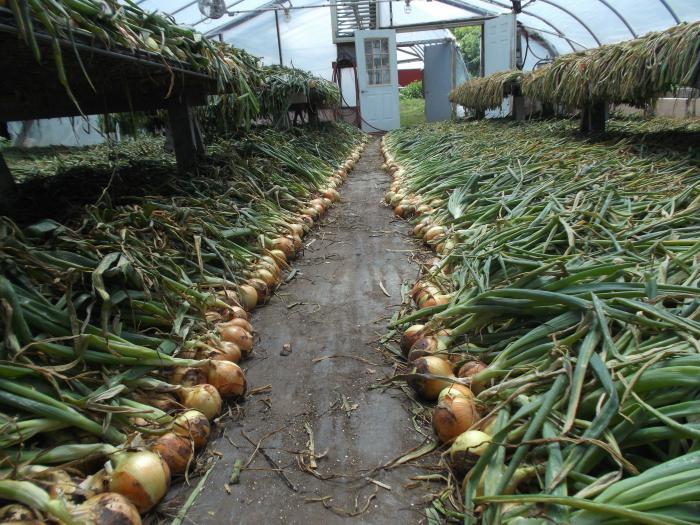 Как правильно просушить лук после уборки с грядки, правила хранения урожая