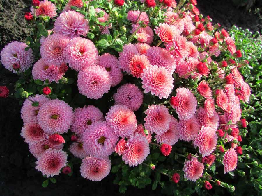 Цветы для урала многолетние: лучшие сорта и виды, правила выращивания