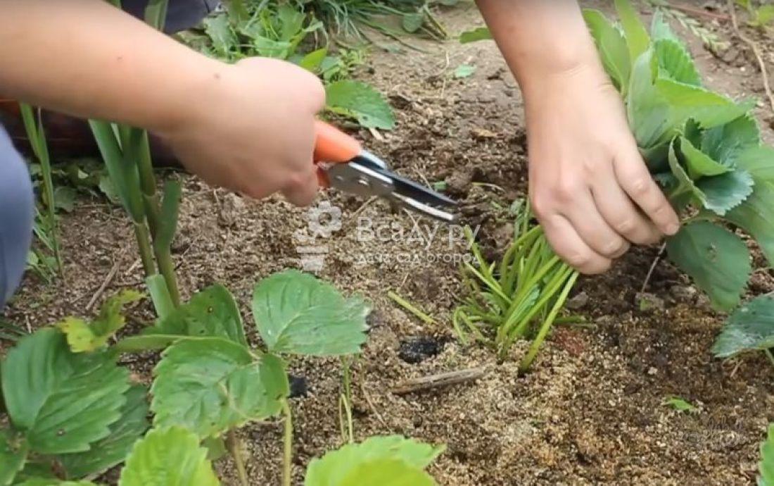Обрезка клубники, в том числе после сбора урожая, а также удаление усов