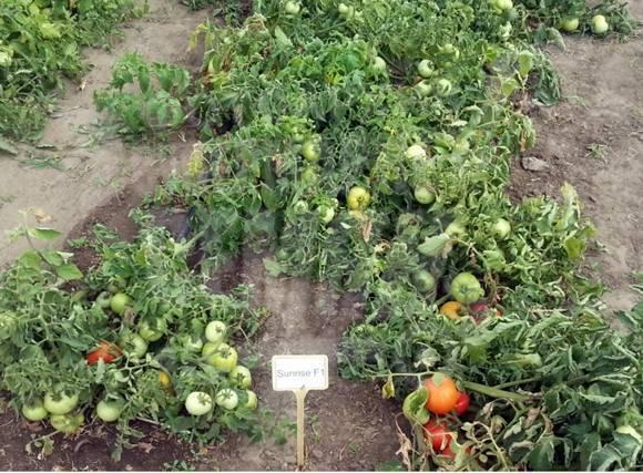 Томат санрайз: характеристика, описание и урожайность сорта, отзывы