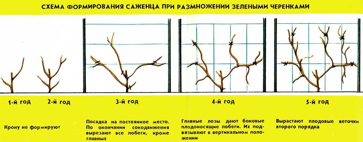 Виноград «монарх», особенности и описание сорта с фото