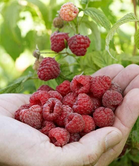 Почему малина мелкая: причины измельчания ягод и пути их устранения