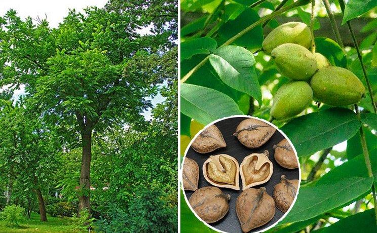 Миндальное дерево: фото, описание, посадка и уход