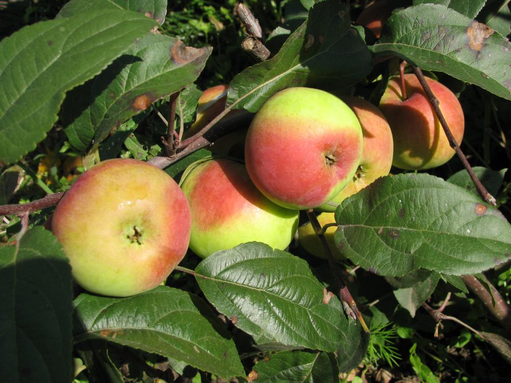 Яблоня солнышко: описание сорта и его фото, особенности выращивания и характеристики selo.guru — интернет портал о сельском хозяйстве