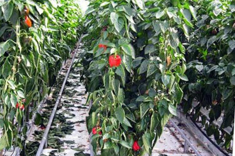 Учимся выращивать горький перец в открытом грунте