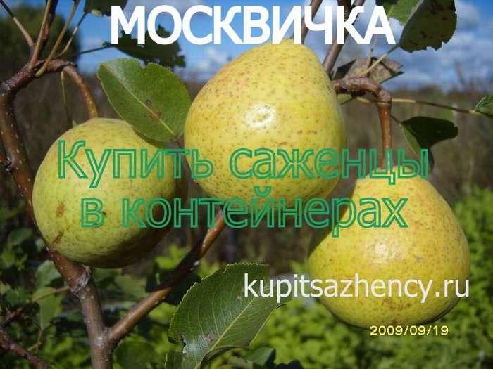 Сорт груши москвичка, описание, характеристика и отзывы, особенности выращивания