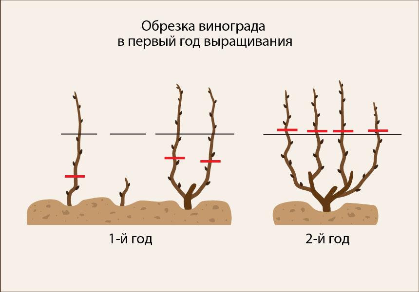 Как пересадить виноград весной на другое место?