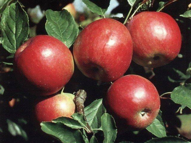 Яблоня коричное полосатое: особенности сорта и ухода