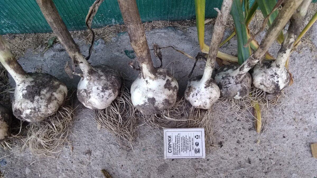 Выращивание чеснока: секреты посадки, выбор сорта и правильный уход для получения лучшего урожая   огородники