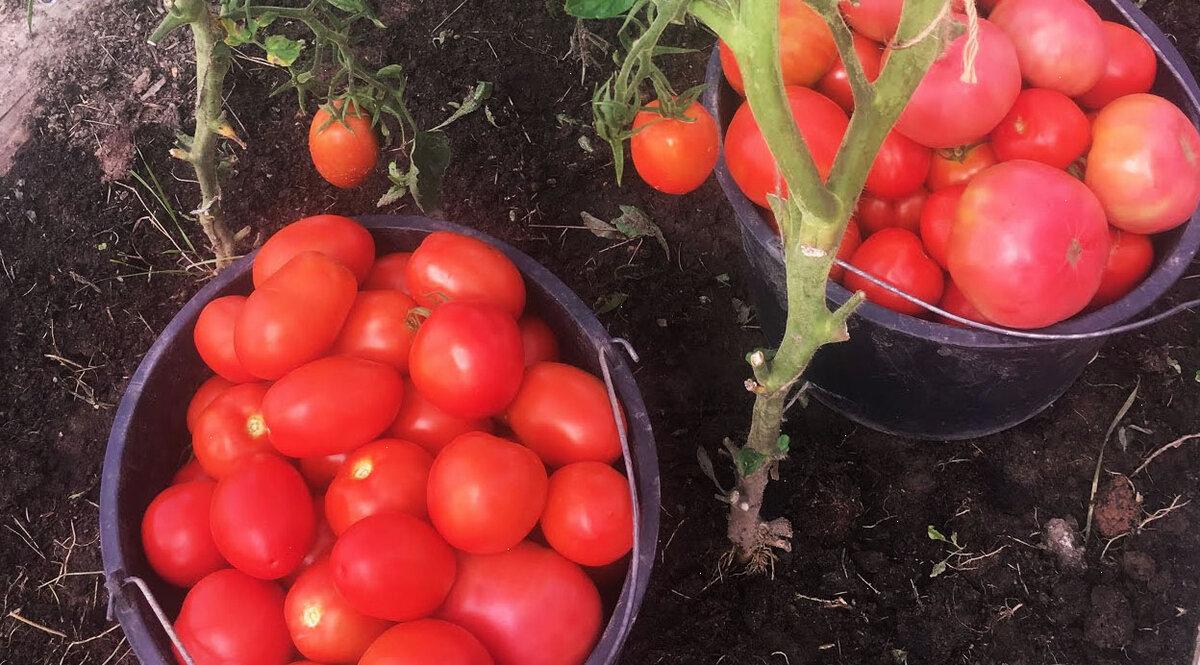 ᐉ метод терехиных по выращиванию томатов, жесткая пикировка, видео - my-na-dache.ru