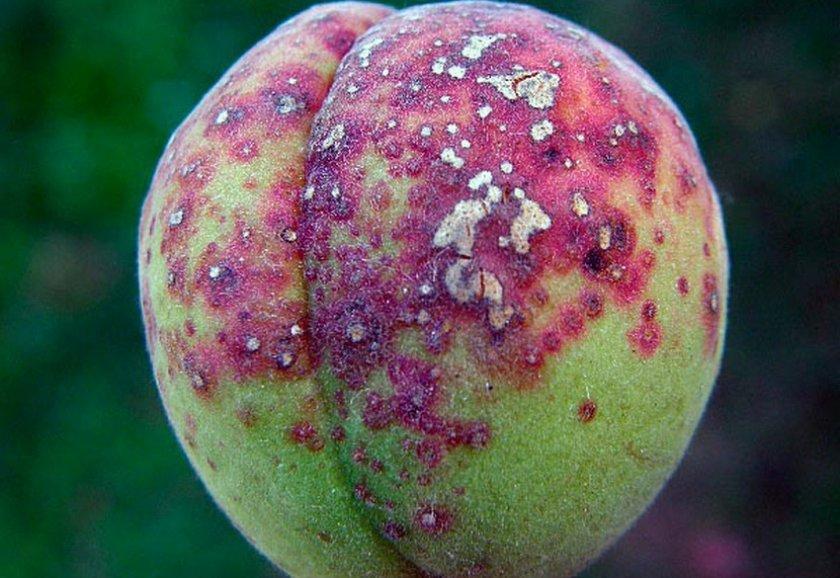 Вредители абрикоса и борьба с ними, фото