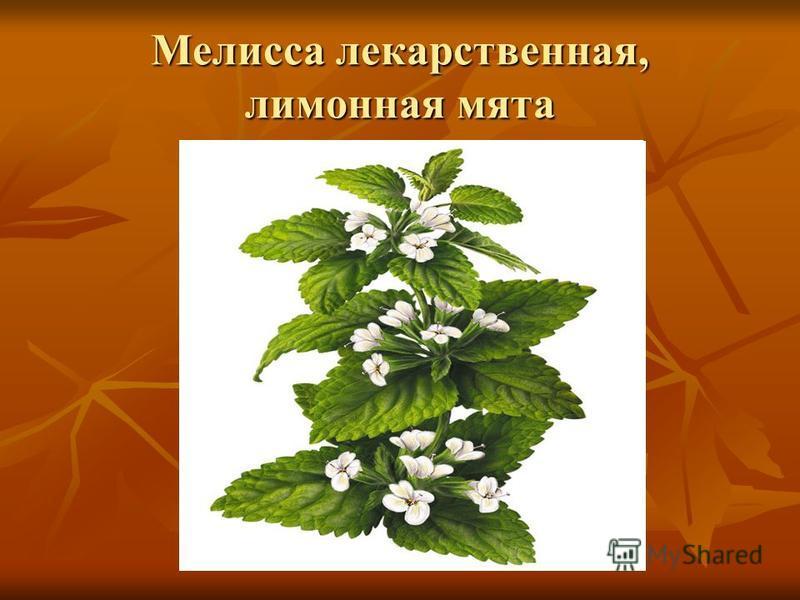 Отличие котовника и мелиссы: в чем разница между лимонной и кошачьей мятой, почему думают, что это одно и то же растение, как выглядят на фото? русский фермер