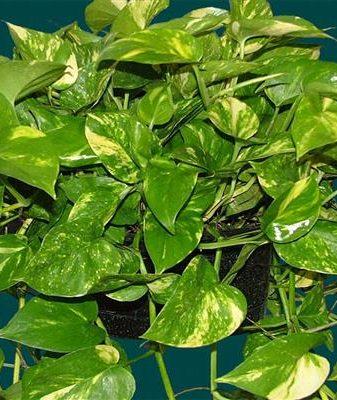 Сциндапсус - родина, размножение, описание растения, уход, болезни сциндапсуса.