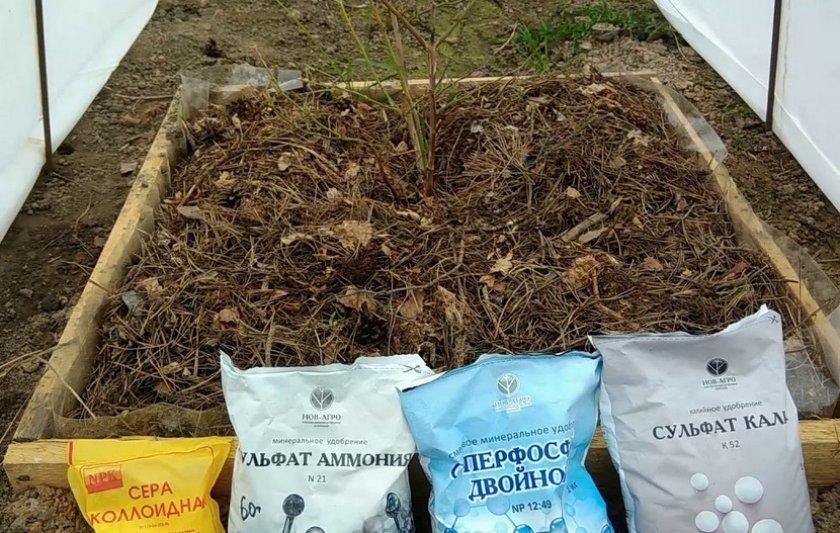 Голубика садовая: мои секреты невероятных урожаев