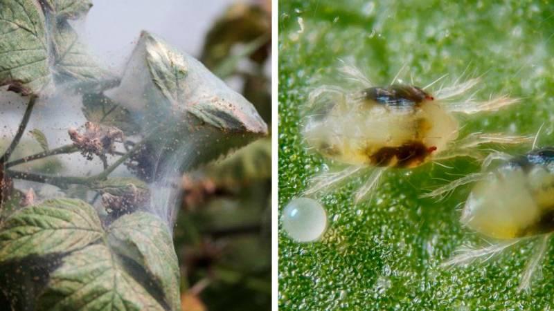 ❶ паутинный клещ на смородине: меры борьбы и профилактика