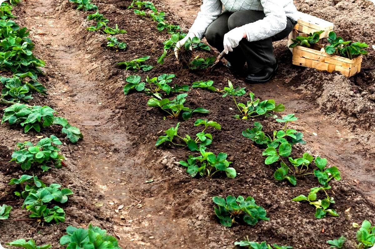 Когда и как рассадить клубнику? выращивание и размножение клубники - sadovnikam.ru