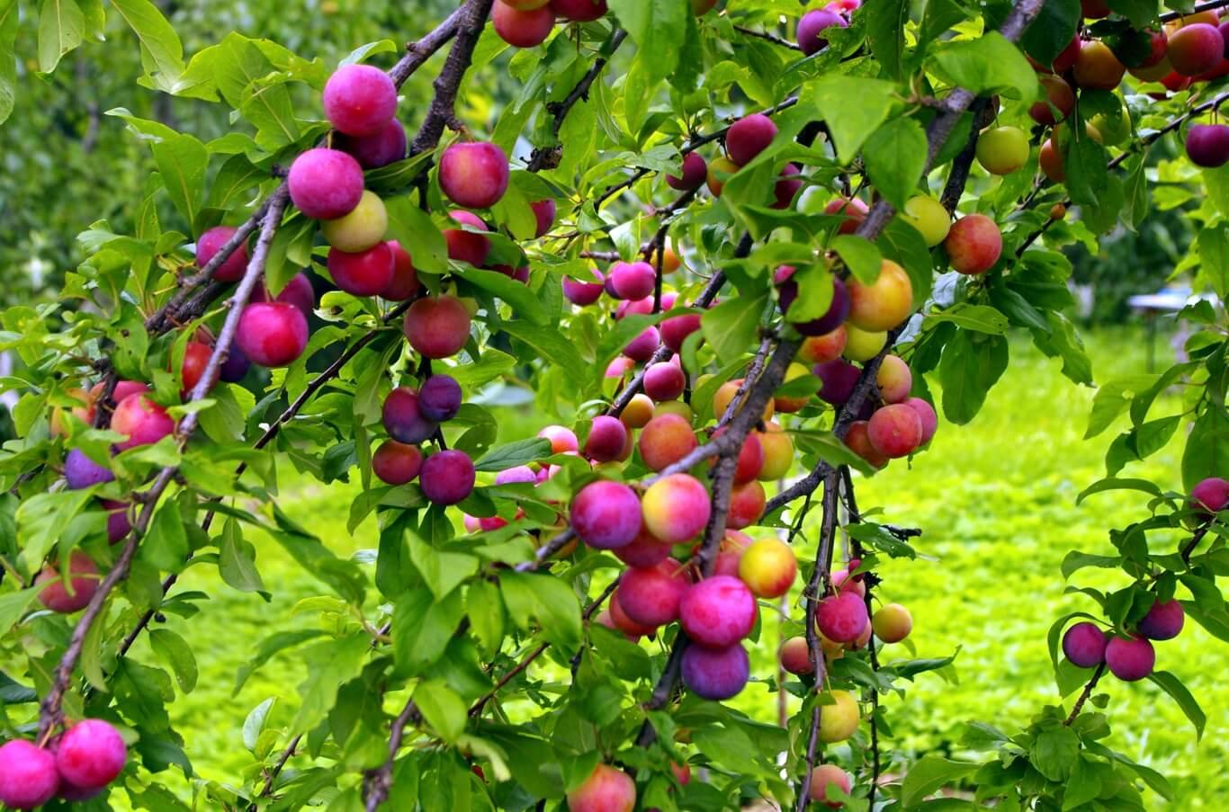 """Слива """"волжская красавица"""": описание сорта, характеристики и фото selo.guru — интернет портал о сельском хозяйстве"""