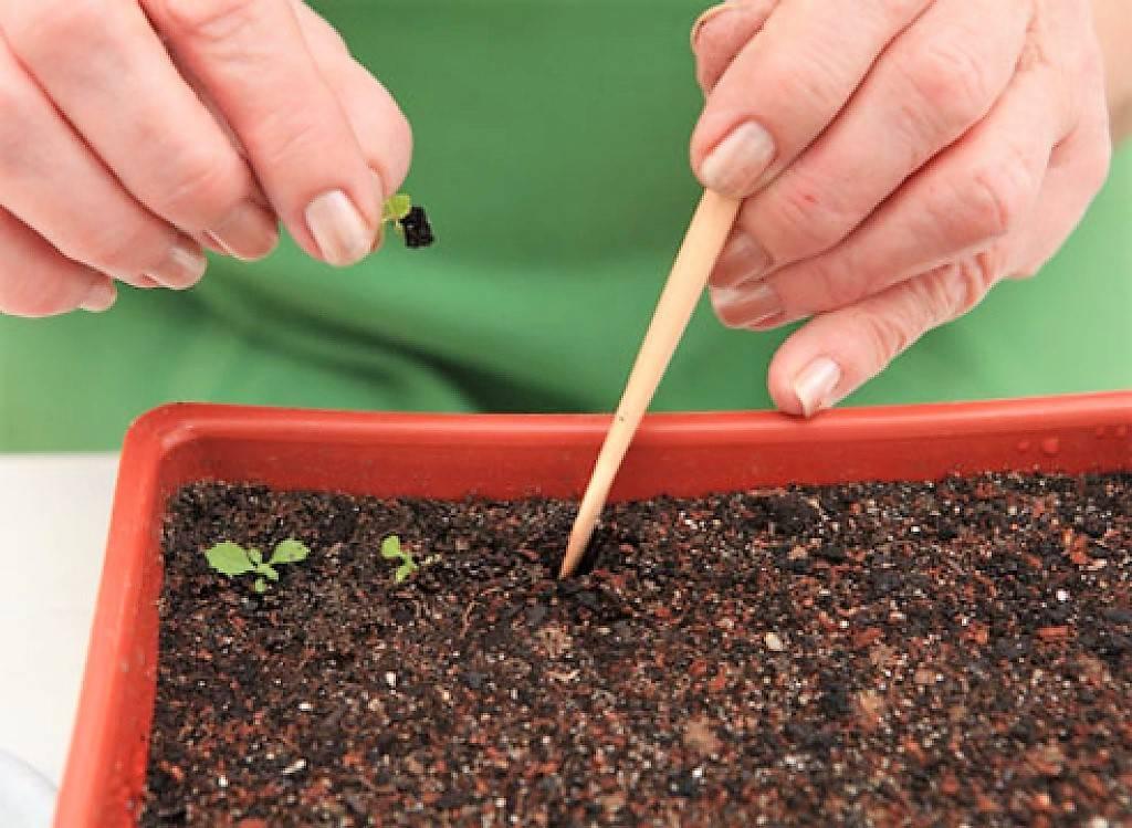 Хотите запастись петрушкой? узнайте здесь, как ее правильно выращивать!
