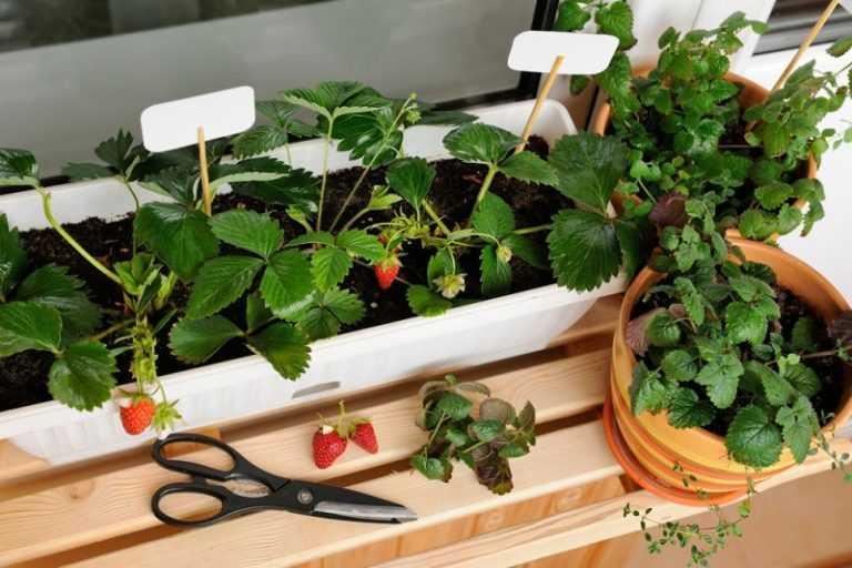 Клубника дома на подоконнике круглый год: как посадить и вырастить урожай домашних ягод
