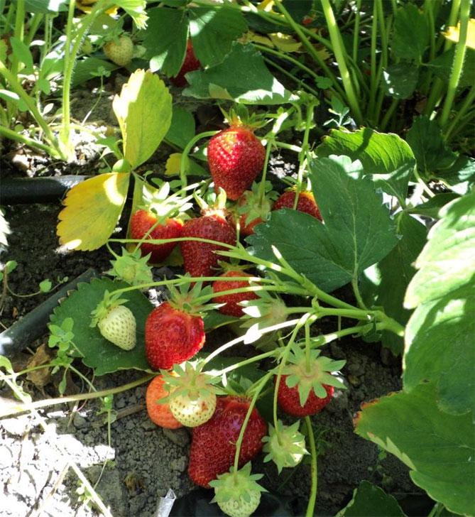 Клубника ароза: фото, отзывы садоводов, особенности выращивания