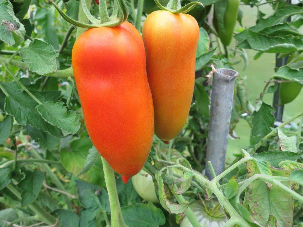 Необычный плод с оригинальным названием: томат «банан красный» — чем он хорош и как его вырастить самостоятельно