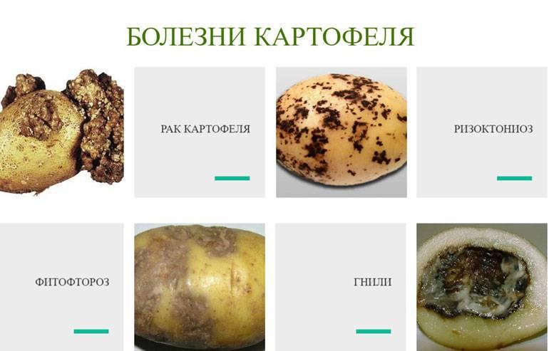 Фузариоз картофеля: описание и меры борьбы, профилактика и лечение, фото