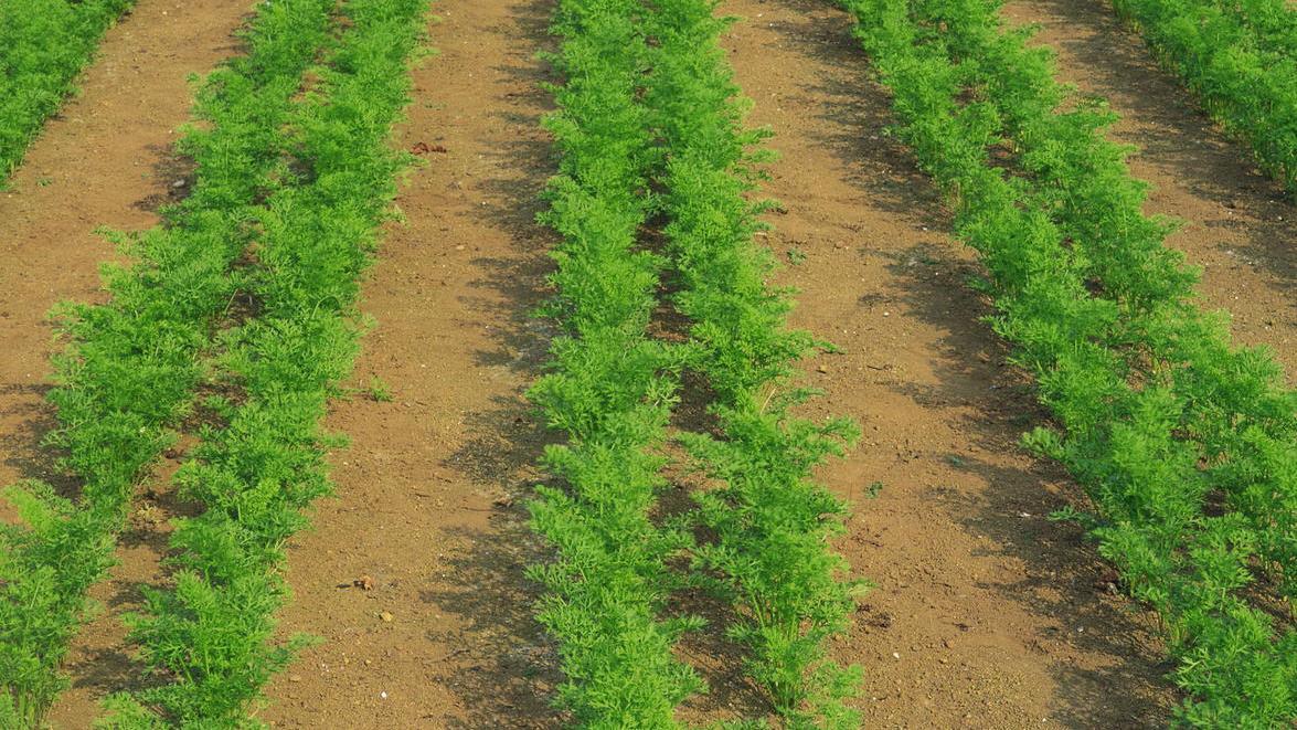 Где и как сажать морковь семенами в открытый грунт? морковь: посадка и уход в открытом грунте