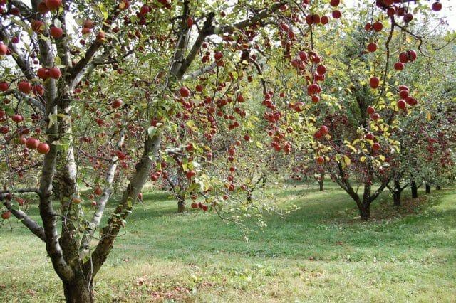 Разгадка, почему яблоня плодоносит через год