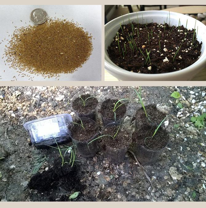 Все этапы выращивания эстрагона из семян: выбор сортов, подготовка, посадка, уход