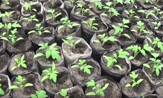 Посадочные дни для рассады томатов в украине на 2021 год по фазам луны