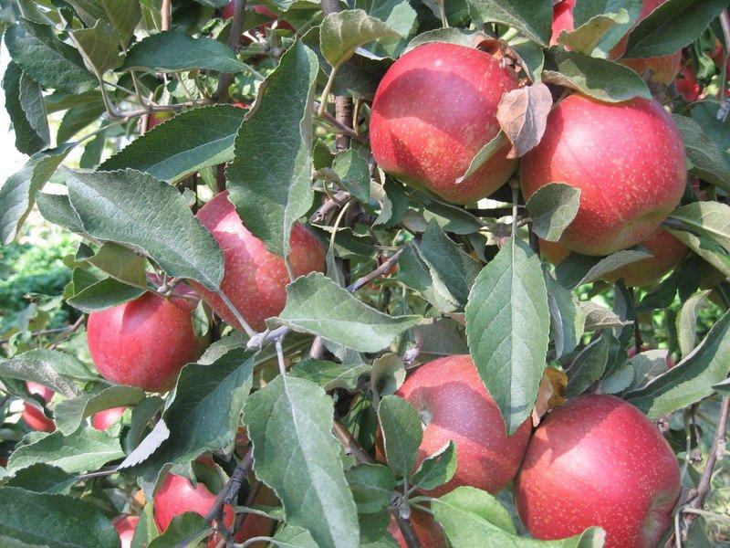 Яблоня веньяминовское: описание и характеристика сорта