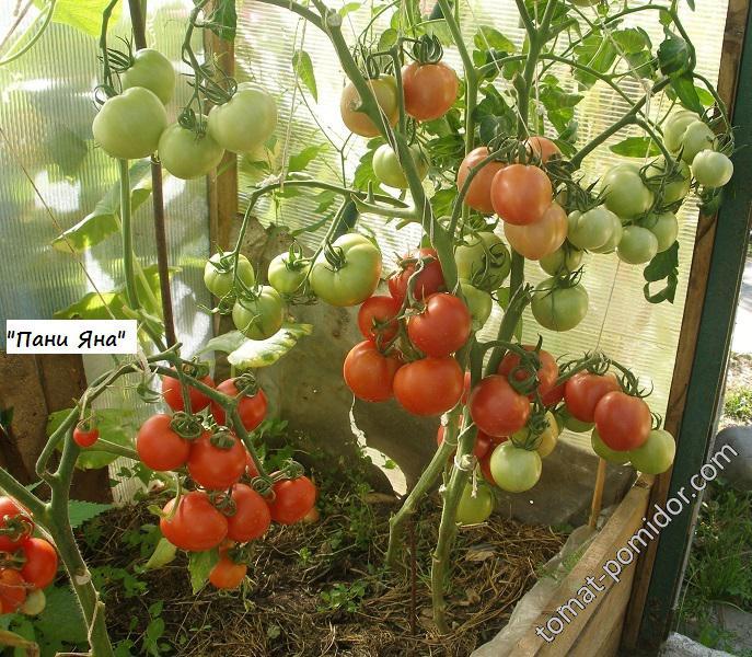 Описание сорта томата яна, особенности выращивания и урожайность - всё про сады