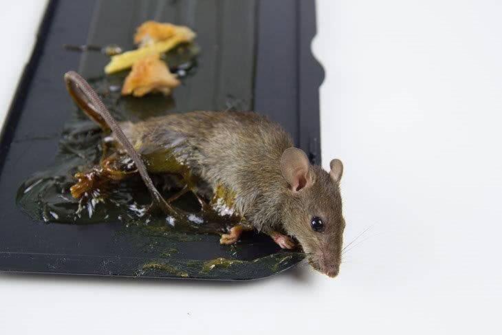 Грызуны-вредители: мыши и крысы на supersadovnik.ru