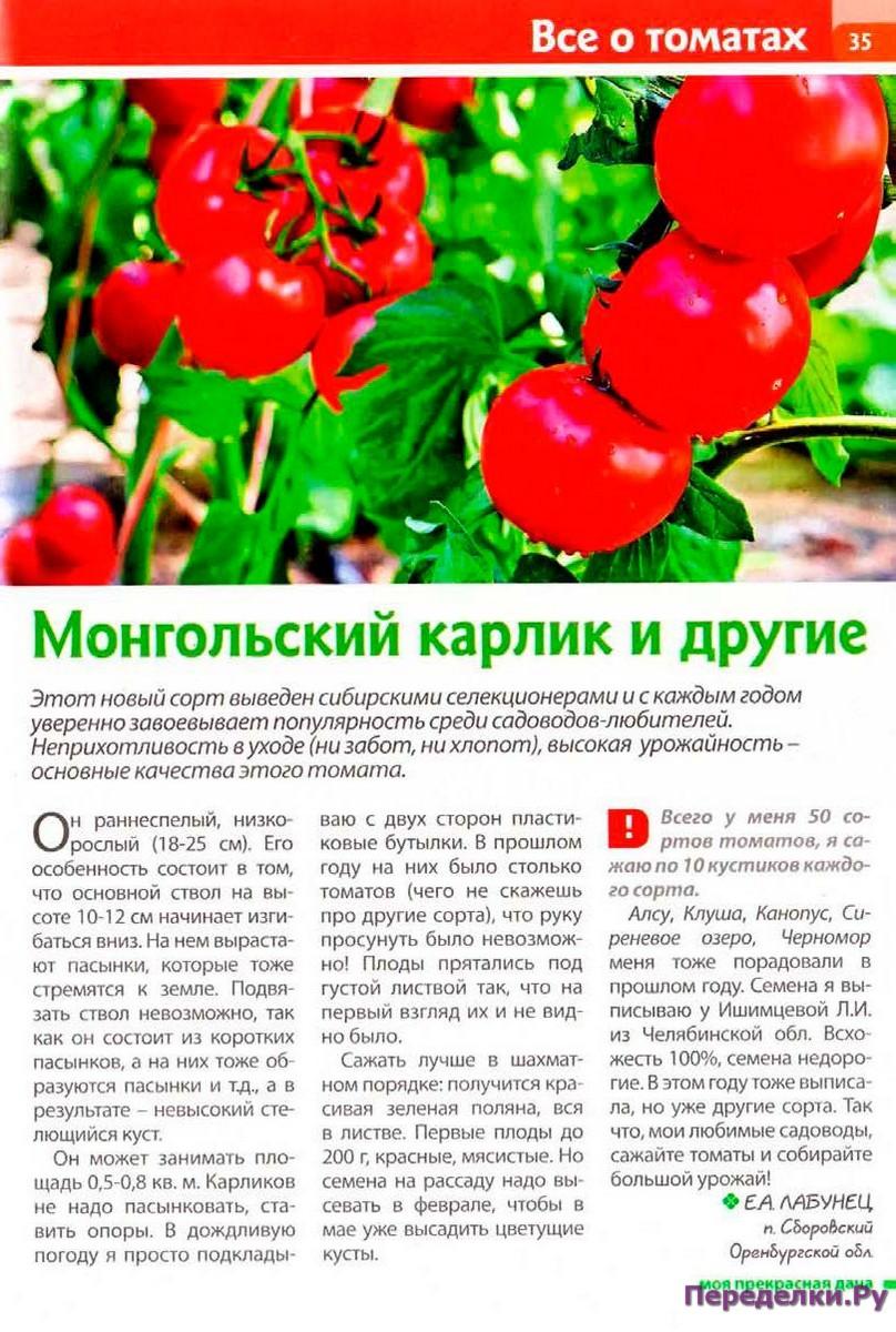 Когда сеять томат монгольский карлик?