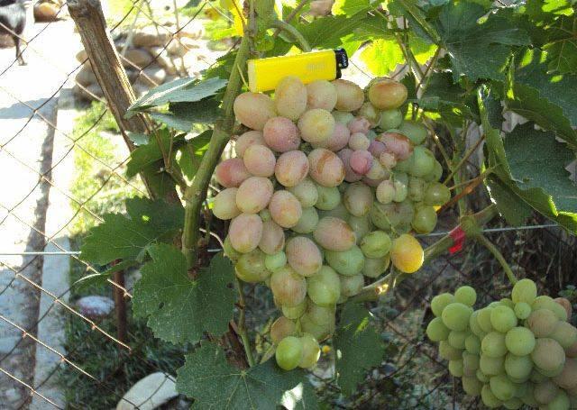 Виноград подарок ирине: описание сорта