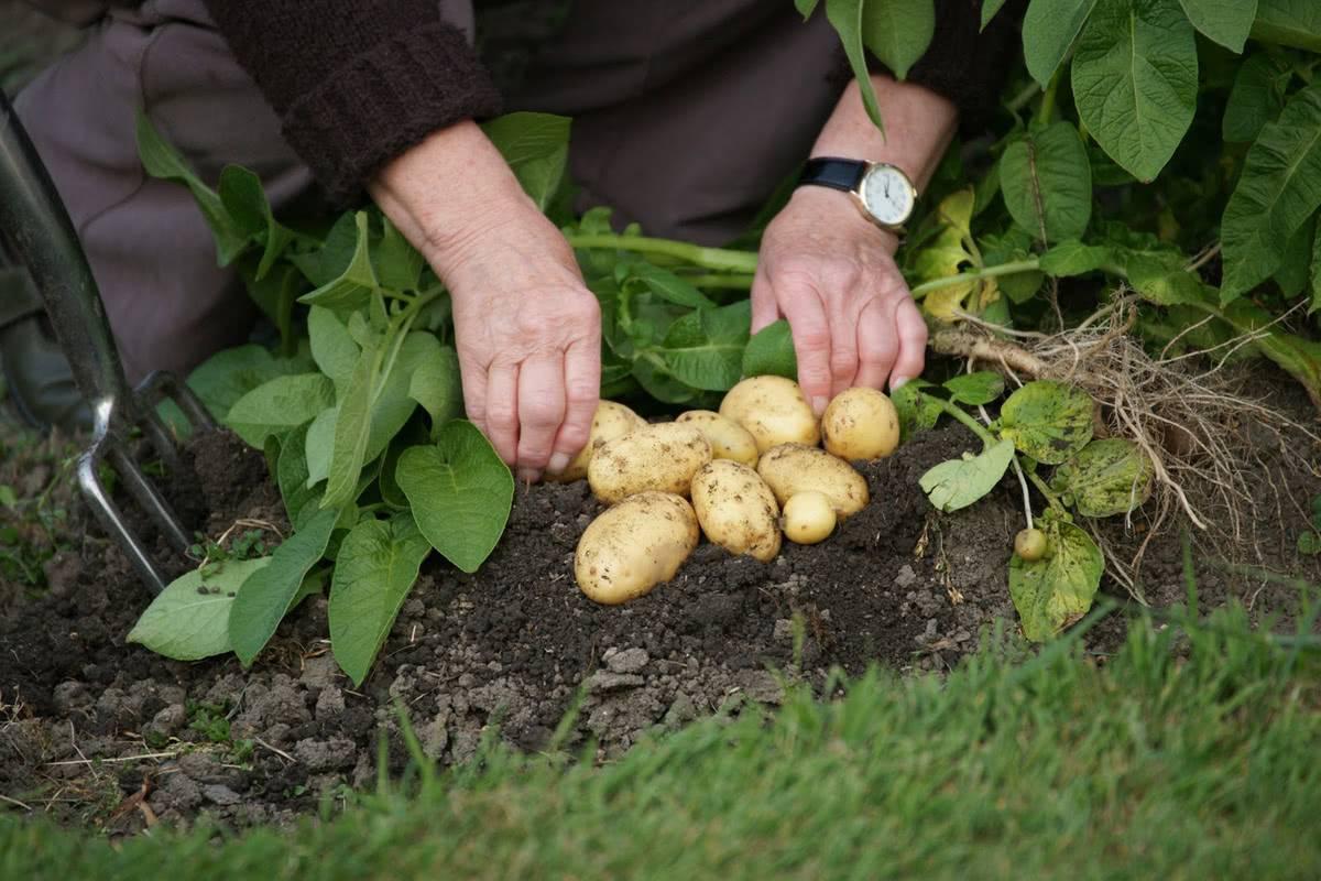 Как вырастить хороший урожай картофеля: рекомендации по выращиванию, как вырастить хорошую крупную картошку, секреты, которые помогут повысить урожайность