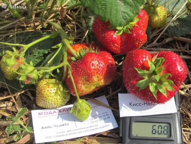 Самые крупноплодные сорта неремонтантной клубники самые крупноплодные сорта неремонтантной клубники