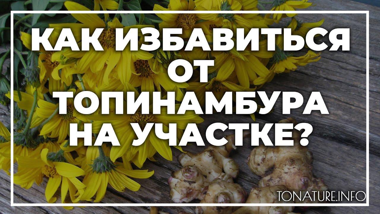 Топинамбур: когда копать, как хранить и чем он полезен + рецепты на supersadovnik.ru