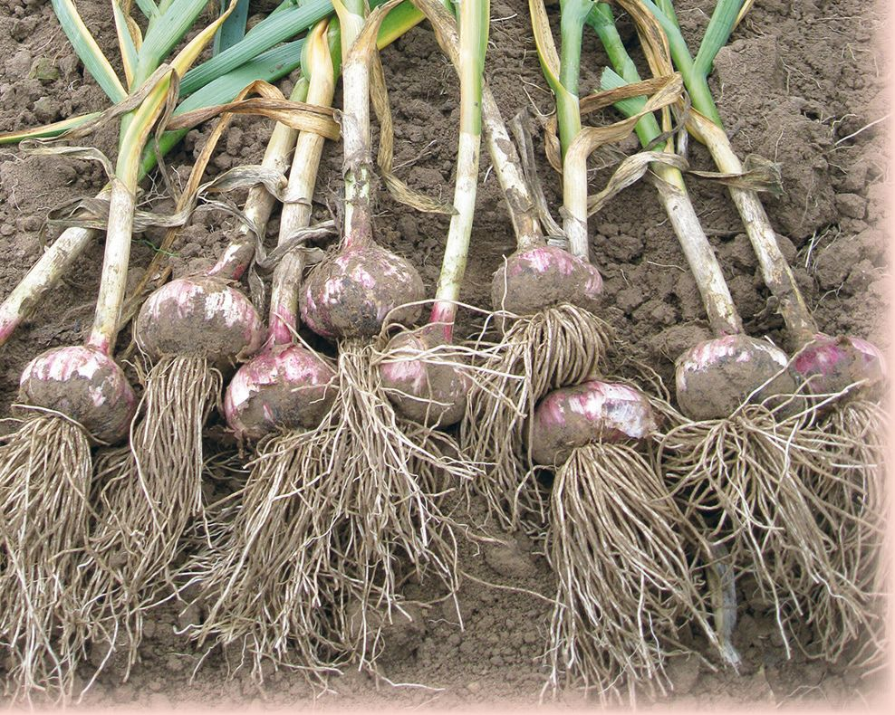 Выращивание чеснока в открытом грунте: посадка и уход, видео, фото