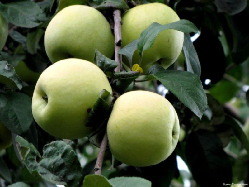 Яблоня солнышко — описание сорта, фото, отзывы