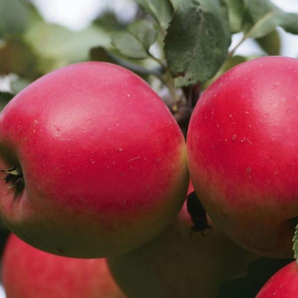 Штамбовая яблоня: что это такое, фото, посадка и уход
