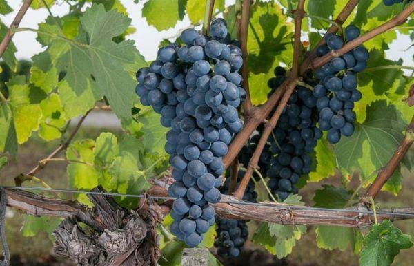 """Виноград """"сира"""" (шираз) характеристика сорта, описание выращивания, достоинств и недостатков"""