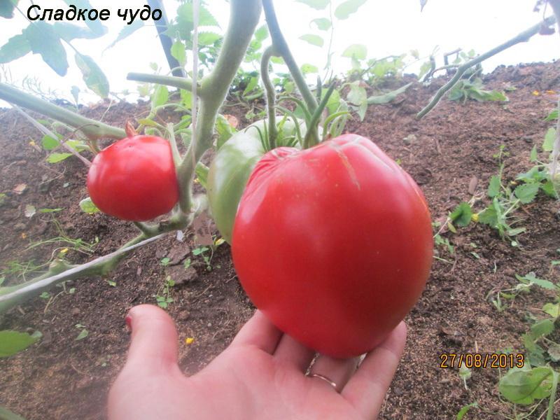 """Помидоры """"балконное чудо"""": выращивание дома в горшке – на подоконнике и на балконе, и в условиях открытого грунта, а также как правильно посадить семена томатов? русский фермер"""