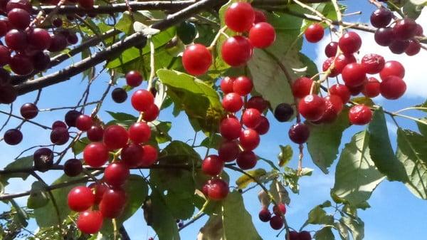 Церападус (гибрид черемухи и вишни) — лечит болезни. особенности выращивания гибрида вишни и черемухи