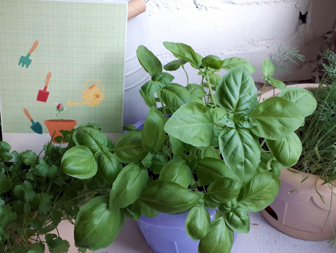 Выращивание базилика из семян на подоконнике в домашних условиях