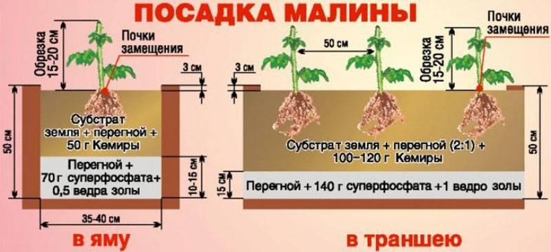 Уход за ежевикой, как правильно это делать, в том числе весной, а также что делать с растением в первый год после посадки