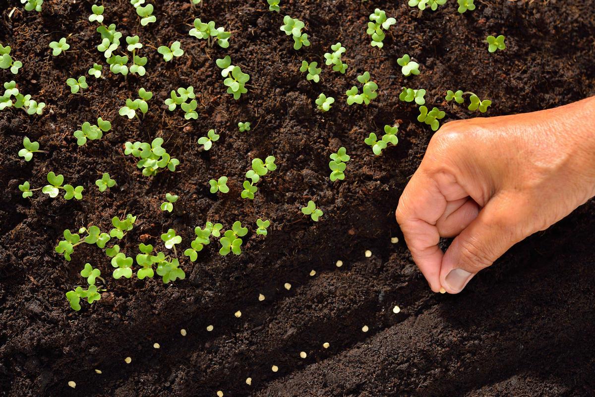 ᐉ растение пастернак: посадка и уход в открытом грунте, фото, выращивание из семян, уборка, хранение - roza-zanoza.ru